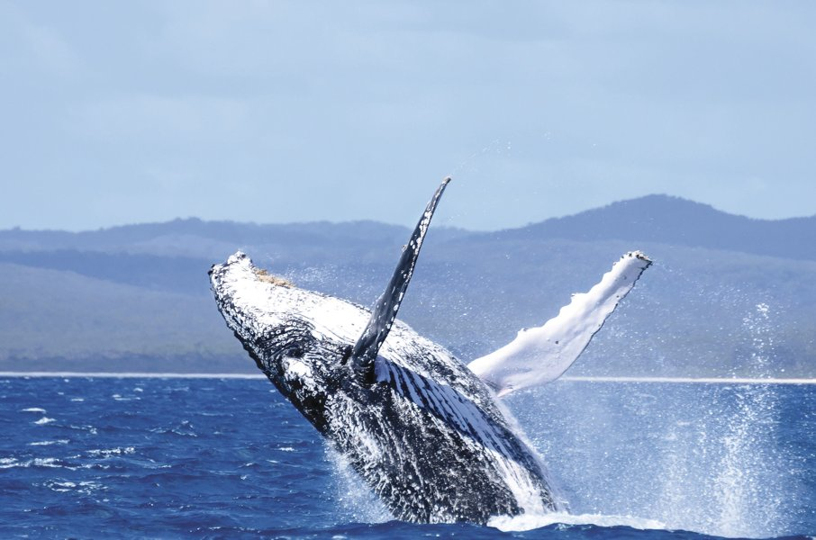 whale @ Hervey Bay Qld